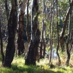 River red gums on the Billabong